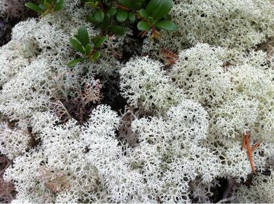 Fiocchi di neve vegetali